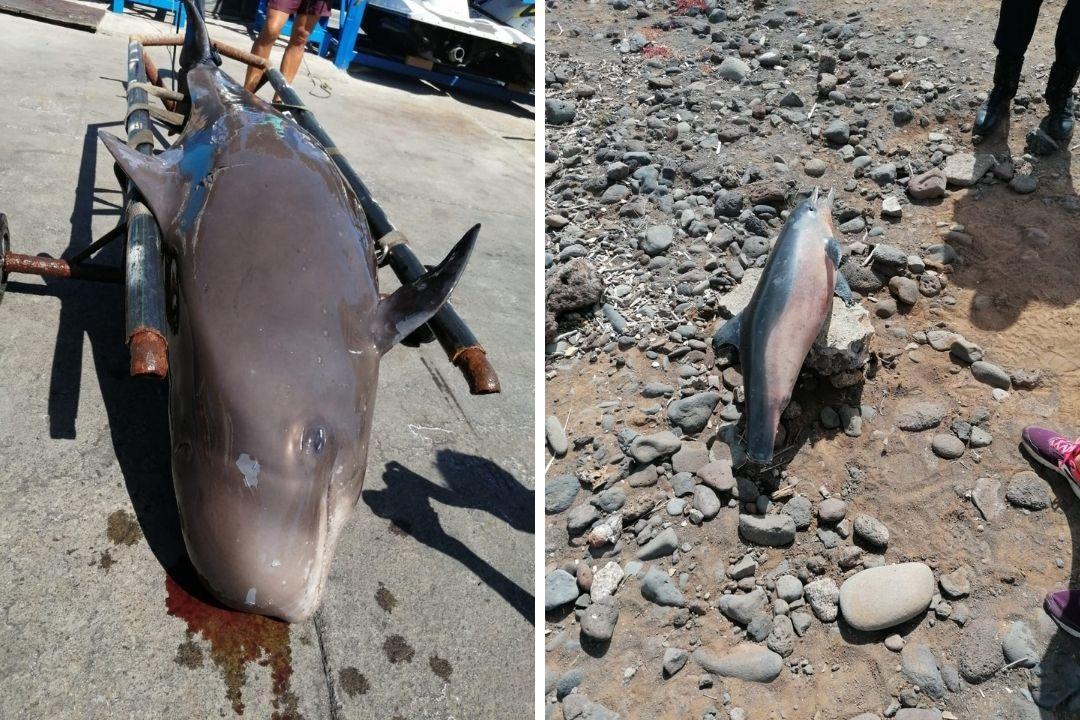 Aparecen muertos un calderón y un delfin