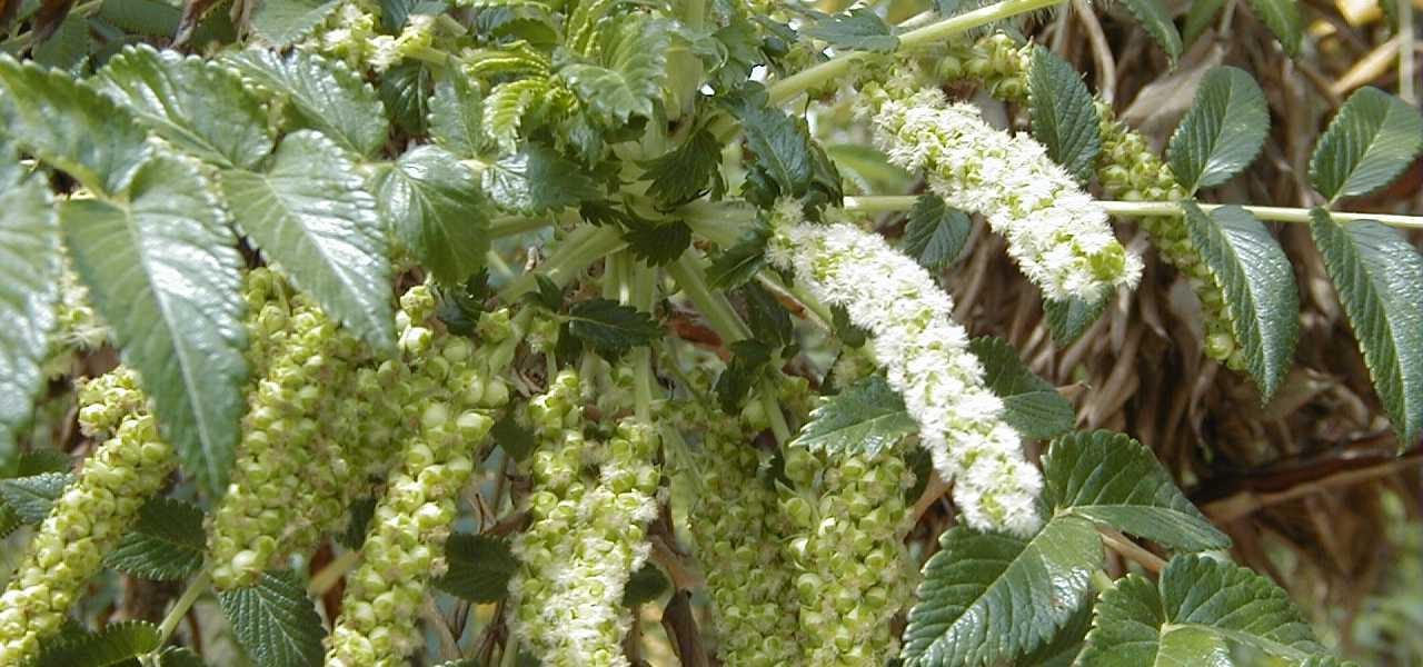 Bencomia caudata, AtlánticoHoy, La Palma, endémicas, especies, canarias, fauna, flora, especies canarias, actualidad