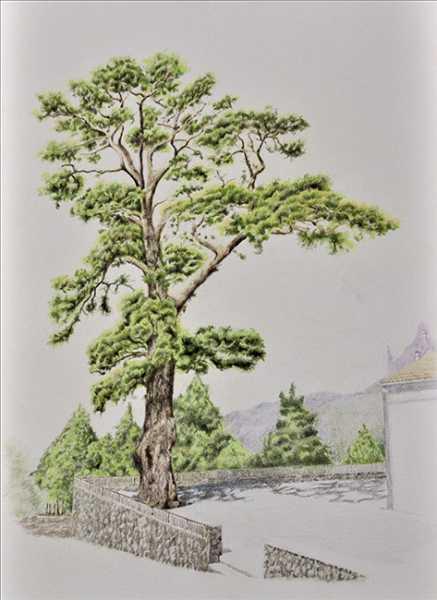 lamina23, el pino de la virgen