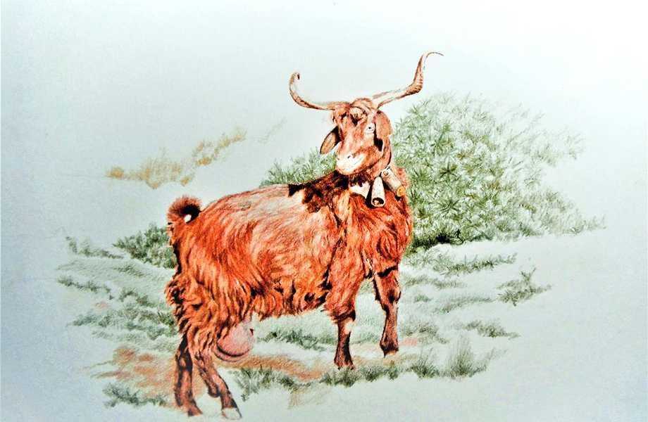 lamina 27, cabra palamera