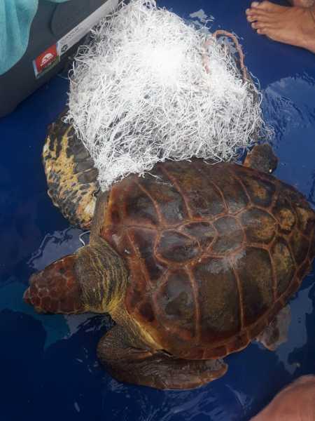 rescatan a una tortuga enmallada en la palma